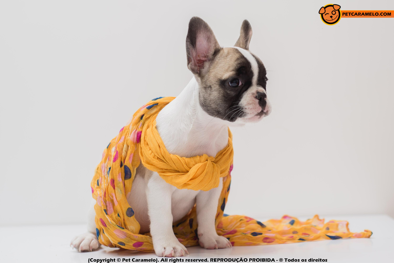 bulldog frances femea branca VOCE