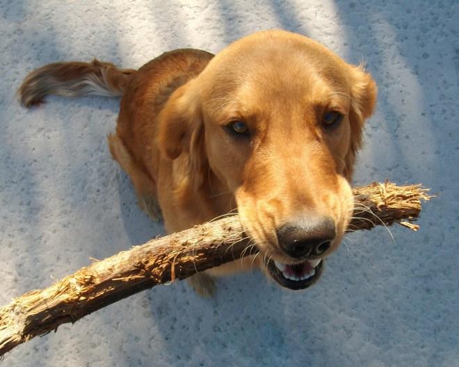 cachorro golden brincando