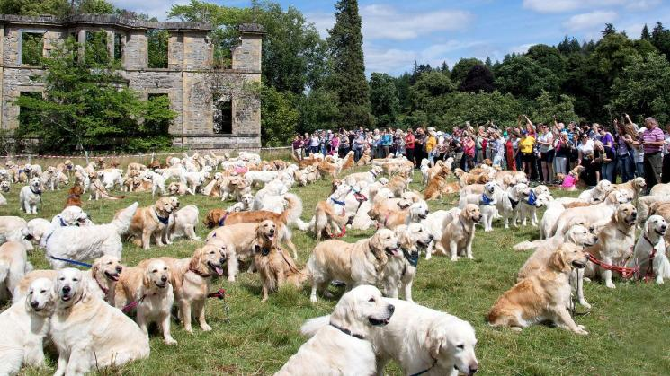 um monte de golden retriever