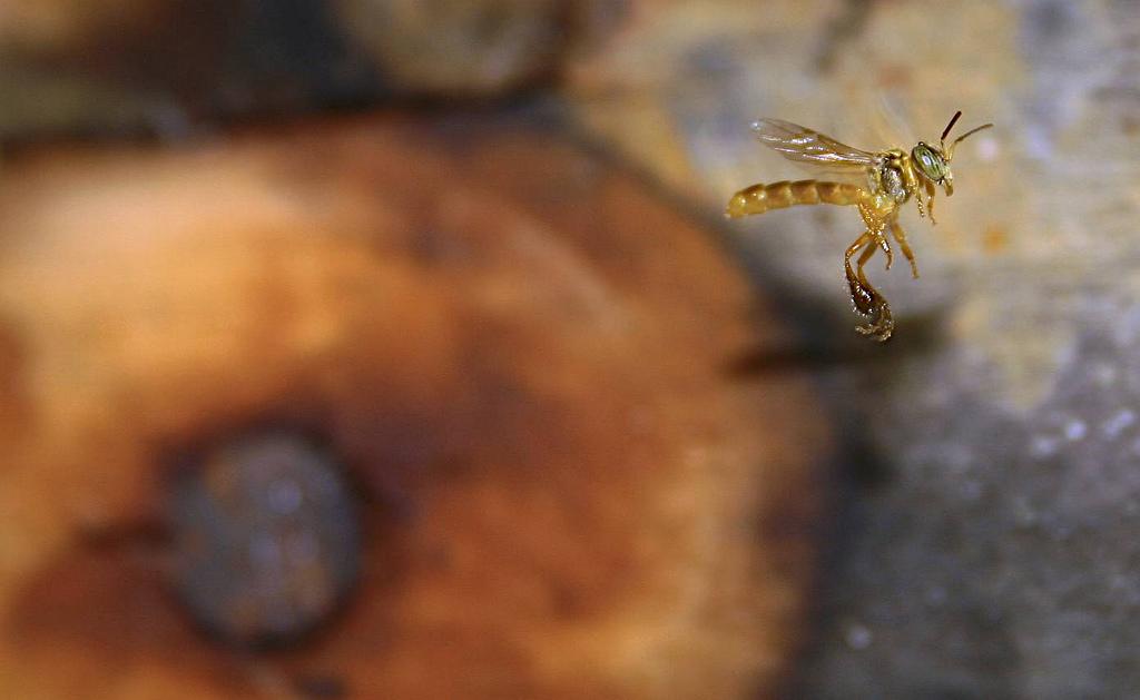 abelha jatai