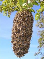 enxame de abelha