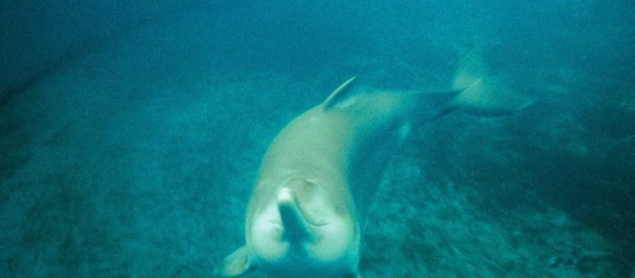 animais em extinção golfinho