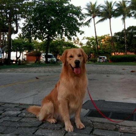 Golden Retriever Macho