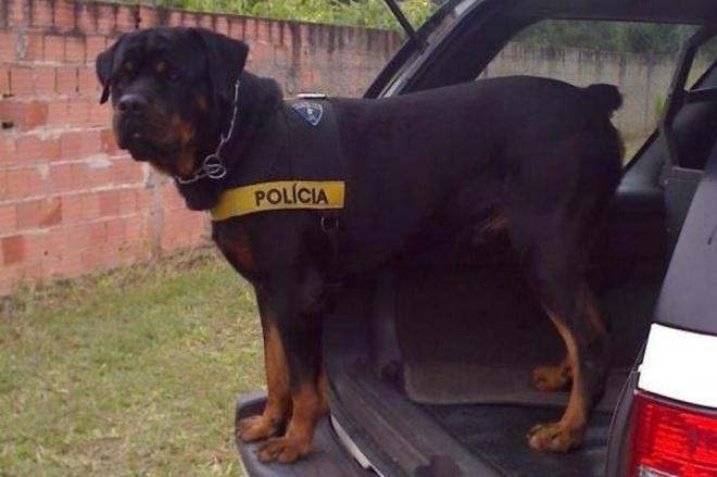 cao policial rottweiler
