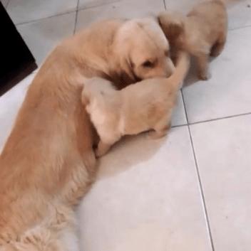 filhotes de cachorro golden