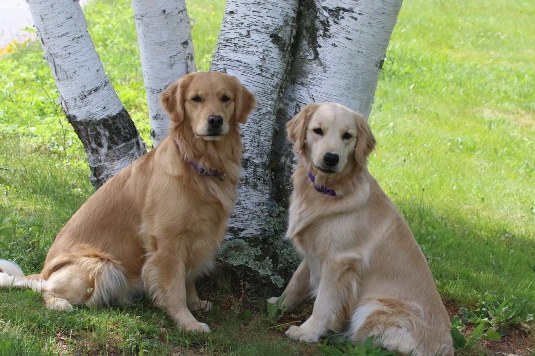 golden retriever cachorro macho