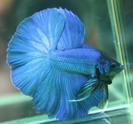 peixe beta azul
