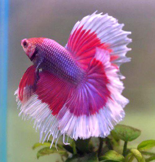 peixe beta rosa