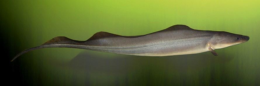 peixe eletrico faca africano