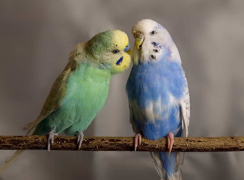 periquito australiano azul