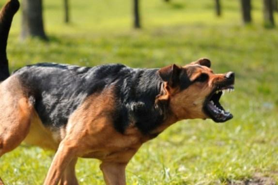 cachorros com raiva