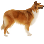 collie lassie