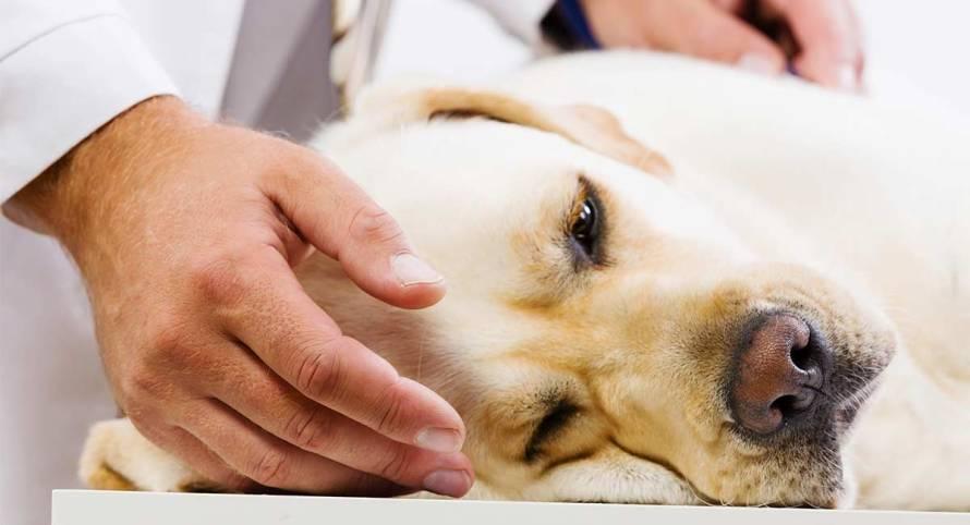 pancreatite canina