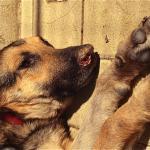 Leishmaniose em cachorro