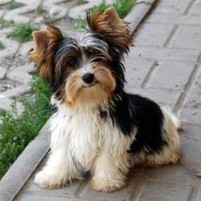 yorkbiewer terrier