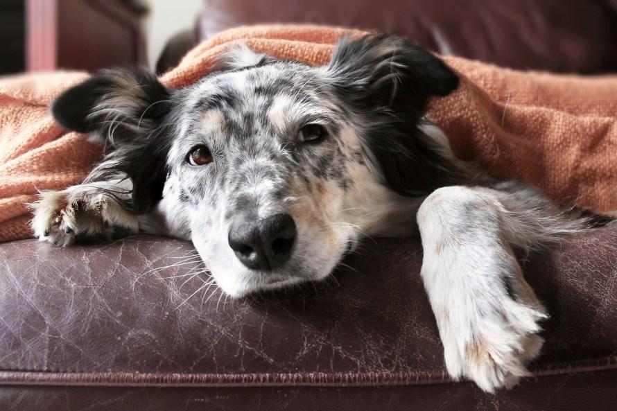 cachorro com insuficiência
