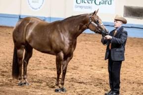 cavalo árabe puro sangue