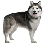 malamute do alasca valor