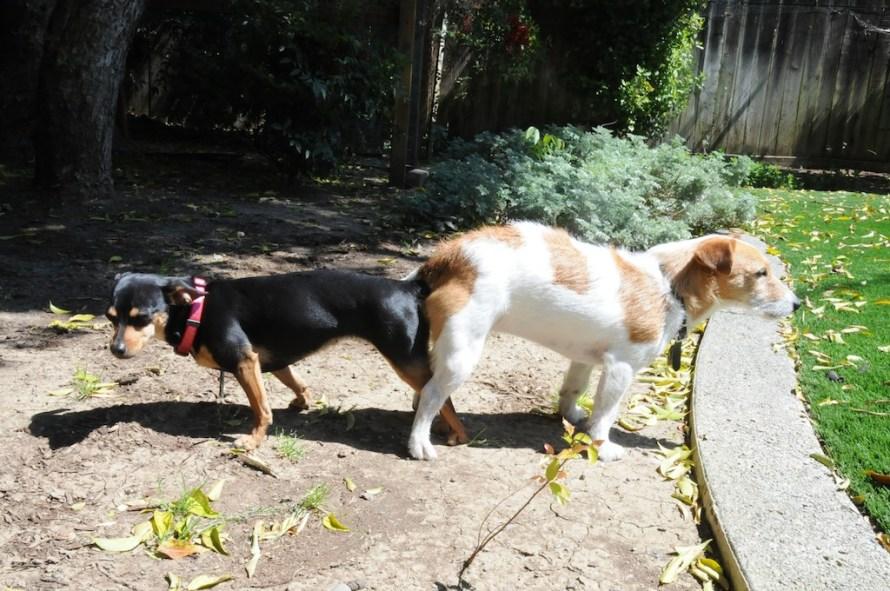 cachorro castrado cruzando