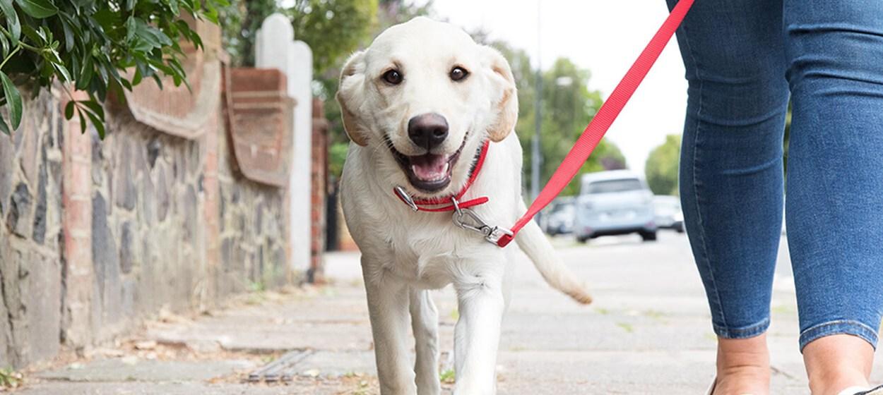 como treinar seu cachorro