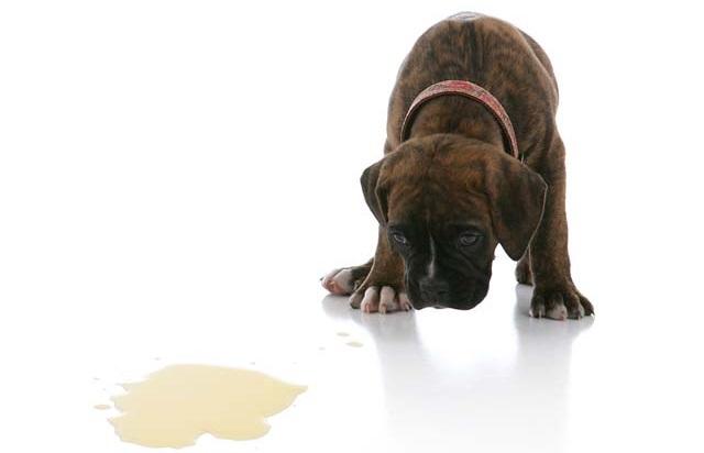 ensinar cachorro a fazer xixi no local correto