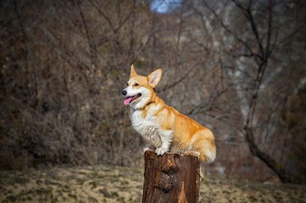 cachorro corgi temperamento