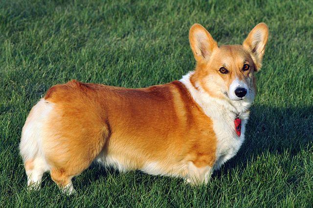 cachorro corgi