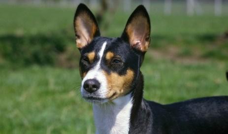 Basenji-cachorro-filhote