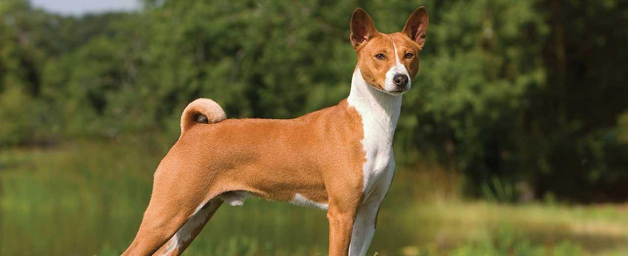 cão basenji