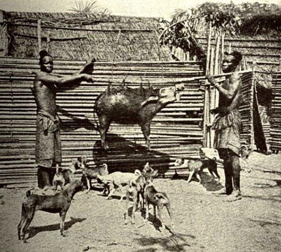 cão basenji caçando