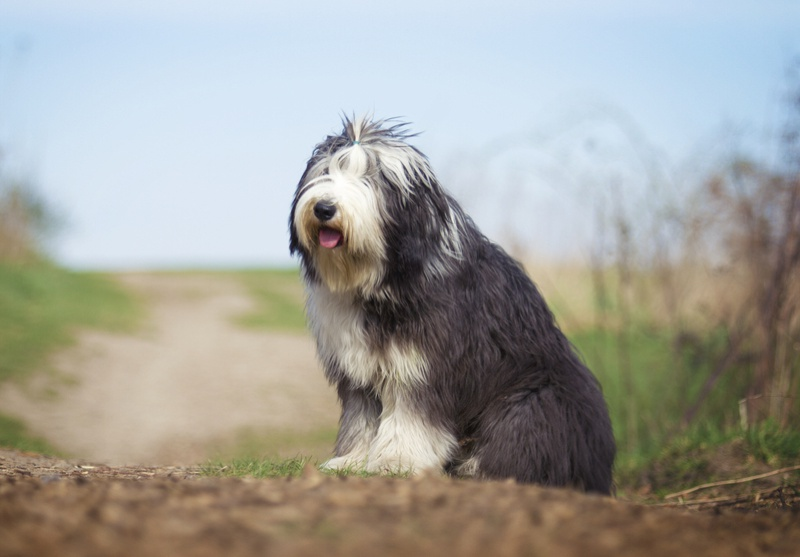 Cachorro Bearded Collie