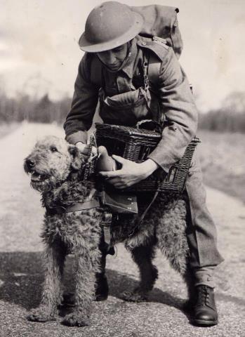airedale terrier cachorro guerra jack