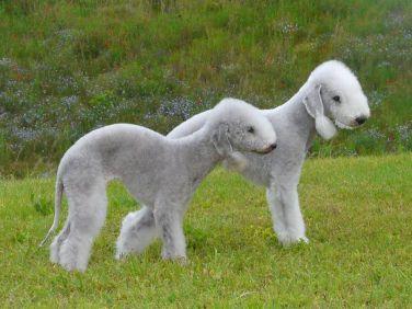 Bedlington Terrier branco