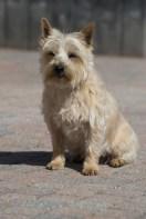 cachorro cairn terrier amarelo