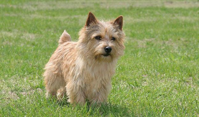 Norwich cachorro da Noruega