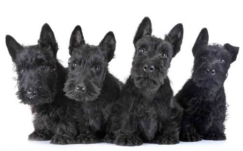 Scottish Terrier filhotes
