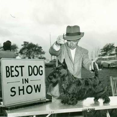 Scottish Terrier competicao