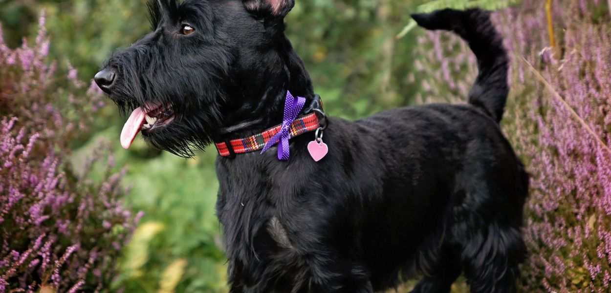 Scottish Terrier Preto