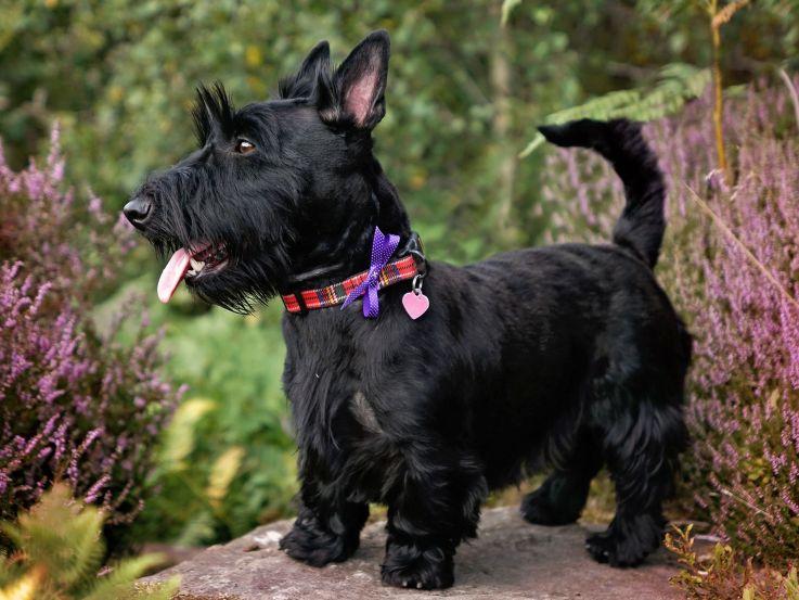 Scottish Terrier Preto