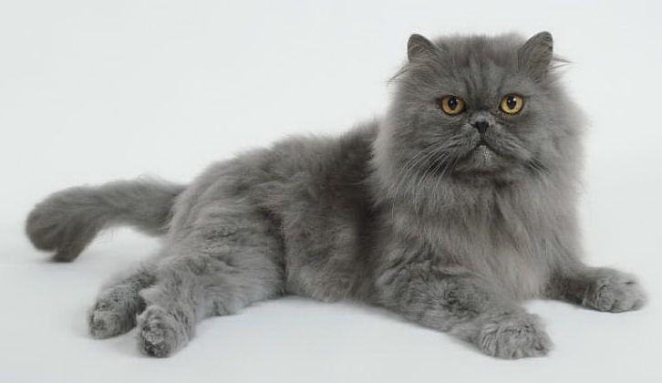 gato persa azul ou cinza
