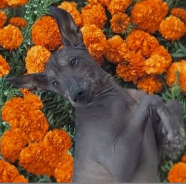 Xoloitzcuintli cachorros