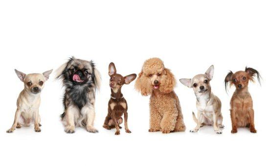 cachorros e racas pequenas