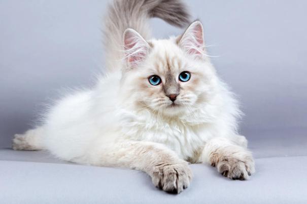 Gato Siberiano preco