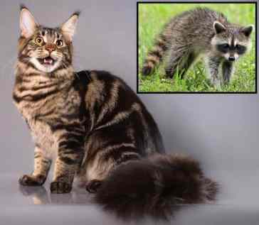 Maine Coon guaxinim
