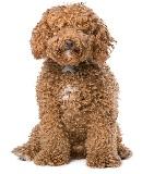 cachorro labradoodle