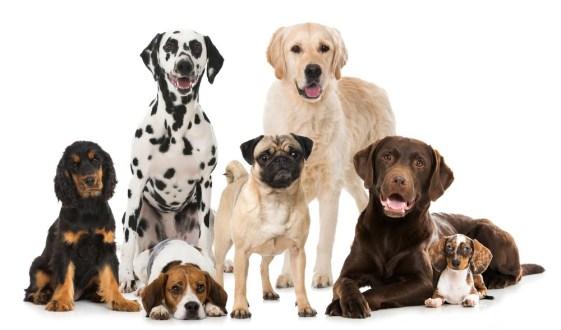 cachorros de porte medio