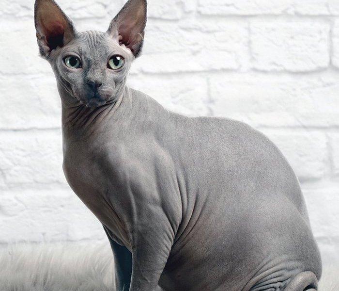 gato egipicio preco