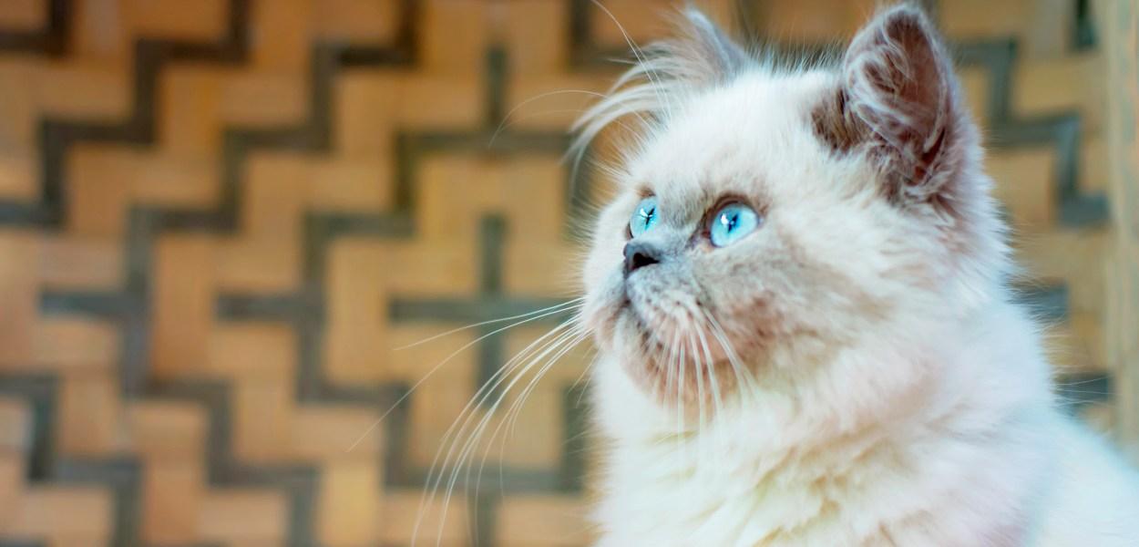 gato himalaio preco