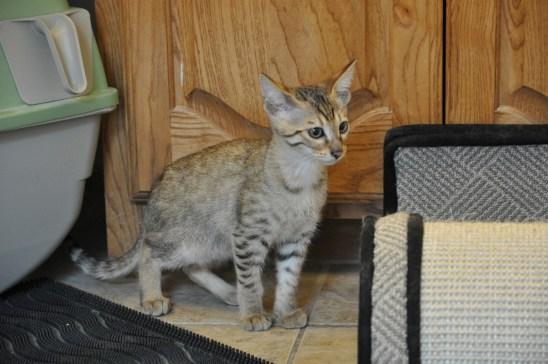 Gato Savannah Misturado