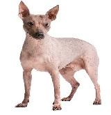 cachorro pelado mexicano